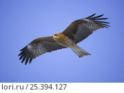 Купить «Black-eared kite (Milvus migrans lineatus) in flight, Lake Furen, Nemuro Region, Hokkaido, Japan», фото № 25394127, снято 3 апреля 2020 г. (c) Nature Picture Library / Фотобанк Лори