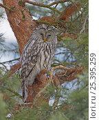Купить «Ural owl (Srix uralensis) perched in tree, Helsinki, Finland, February», фото № 25395259, снято 17 января 2019 г. (c) Nature Picture Library / Фотобанк Лори