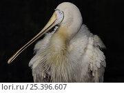 Купить «Yellow-billed spoonbill (Platalea flavipes) South Australia», фото № 25396607, снято 17 июня 2019 г. (c) Nature Picture Library / Фотобанк Лори