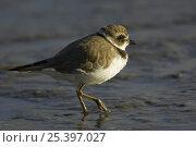 Купить «Semipalmated Plover (Charadrius semipalmatus) foraging on mudflats, Barrancones Bay, Waterloo, Trinidad.», фото № 25397027, снято 27 мая 2019 г. (c) Nature Picture Library / Фотобанк Лори