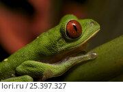 Купить «Red-eyed tree frog (Agalychnis callidryas) on Heliconia plant. Piedras Blancas National Park, Esquinas Rainforest Lodge, Costa Rica.», фото № 25397327, снято 27 мая 2019 г. (c) Nature Picture Library / Фотобанк Лори