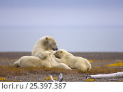 Купить «Polar bear (Ursus maritimus) female nurses her cubs on a barrier island, off the Arctic National Wildlife Refuge, Alaska», фото № 25397387, снято 13 декабря 2017 г. (c) Nature Picture Library / Фотобанк Лори