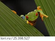 Купить «Red eyed tree frog (Agalychnis callidryas) between leaves, Costa Rica», фото № 25398527, снято 21 апреля 2019 г. (c) Nature Picture Library / Фотобанк Лори