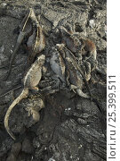 Купить «Marine iguanas (Amblyrhynchus cristatus) from above, lying on rocks, Puerto Egas, Santiago Island, Galapagos Islands.», фото № 25399511, снято 22 марта 2019 г. (c) Nature Picture Library / Фотобанк Лори