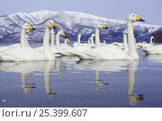 Whooper Swans (Cygnus cygnus) Lake Kussharo, Hokkaido, Japan February 2007. Стоковое фото, фотограф Kerstin Hinze / Nature Picture Library / Фотобанк Лори