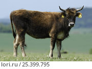 Купить «Heck cow / reconstructed auroch, a hardy breed of Domestic cattle (Bos taurus) Germany Heck cattle were developed in the early 20th century by the Heck...», фото № 25399795, снято 29 марта 2020 г. (c) Nature Picture Library / Фотобанк Лори