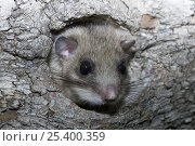 Купить «Fat / Edible dormouse (Glis glis) peering out of nest hole in wood, Baden-Württemberg, Germany», фото № 25400359, снято 19 ноября 2019 г. (c) Nature Picture Library / Фотобанк Лори