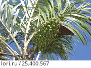 Купить «Fruits of Tucum palm (Bactris sp) Mato Grosso State, Central Brazil.», фото № 25400567, снято 19 августа 2018 г. (c) Nature Picture Library / Фотобанк Лори