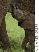 Купить «African Elephant baby {Loxodonta africana} suckling, Samburu NP, Kenya.», фото № 25400879, снято 16 августа 2018 г. (c) Nature Picture Library / Фотобанк Лори