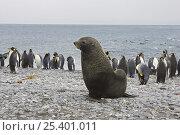 Купить «Antarctic Fur Seal {Arctocephalus gazella} large bull with King Penguins {Aptenodytes patagonicus} Salisbury Plain, South Georgia», фото № 25401011, снято 15 июля 2020 г. (c) Nature Picture Library / Фотобанк Лори