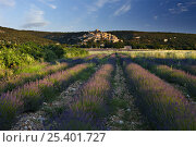 Купить «Rows of lavender in a field with the village of Simiane-la-Rotonde in the background, the Vaucluse, Provence, France», фото № 25401727, снято 16 июля 2018 г. (c) Nature Picture Library / Фотобанк Лори