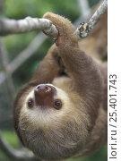 Купить «Southern two-toed Sloth (Choloepus didactylus) moving along branch, rainforest habitat, Costa Rica», фото № 25401743, снято 21 марта 2018 г. (c) Nature Picture Library / Фотобанк Лори