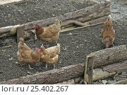 Купить «Domestic hens {Gallus gallus domesticus} peck over to clean raised flower beds before planting, Carmarthenshire, Wales, UK, march», фото № 25402267, снято 27 мая 2018 г. (c) Nature Picture Library / Фотобанк Лори