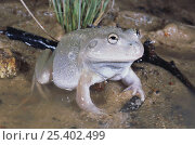 Купить «Desert water holding frog {Cyclorana platycephala} female surfaces after heavy rains and moves to a temporary pool to find a mate, Mungindi, New South Wales, Australia», фото № 25402499, снято 26 марта 2020 г. (c) Nature Picture Library / Фотобанк Лори