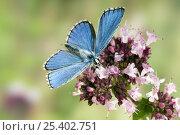 Купить «Adonis Blue (Polyommatus bellargus) Male feeding on Marjoram, Oxfordshire, England, UK», фото № 25402751, снято 15 августа 2018 г. (c) Nature Picture Library / Фотобанк Лори