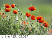 Купить «Poppy (Papaver rhoeas) flowers and buds, Bulgaria May 2008», фото № 25403027, снято 3 апреля 2020 г. (c) Nature Picture Library / Фотобанк Лори