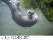 Купить «Canadian otter (Lutra canadensis) diving, British Columbia, Canada», фото № 25403207, снято 4 июня 2020 г. (c) Nature Picture Library / Фотобанк Лори