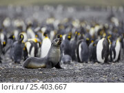 Купить «Antarctic Fur Seal {Arctocephalus gazella} adult female with King Penguins {Aptenodytes patagonicus} Salisbury Plain, South Georgia», фото № 25403667, снято 19 августа 2018 г. (c) Nature Picture Library / Фотобанк Лори