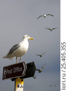 Купить «Seagull perched on Post Office sign in Padstow harbour, Cornwall, England», фото № 25405355, снято 19 августа 2018 г. (c) Nature Picture Library / Фотобанк Лори