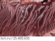 Купить «Gills of dissected Porbeagle shark (Lamna nasus)caught for research off New Brunswick, Canada», фото № 25405635, снято 21 августа 2018 г. (c) Nature Picture Library / Фотобанк Лори