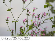Купить «Red Campion (Silene dioica) flowers, Somerset, UK», фото № 25406223, снято 19 февраля 2019 г. (c) Nature Picture Library / Фотобанк Лори