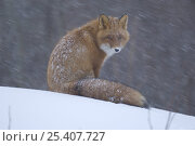 Red fox {Vulpes vulpes} sitting in snow, Kronotsky Nature Reserve, Kamchatka, Far East Russia. Стоковое фото, фотограф Igor Shpilenok / Nature Picture Library / Фотобанк Лори