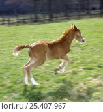Купить «Domestic horse, chestnut British show pony colt foal (11-days) leaping away, UK», фото № 25407967, снято 17 августа 2018 г. (c) Nature Picture Library / Фотобанк Лори