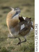 Great Bustard (Otis tarda) displaying in grassland, Brandenburg, Germany. Стоковое фото, фотограф Dietmar Nill / Nature Picture Library / Фотобанк Лори
