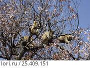 Купить «Japanese macaque / Snow monkey {Macaca fuscata} monkeys feeding on wild cherry blossom in spring, Jigokudani, Nagano, Japan», фото № 25409151, снято 17 ноября 2019 г. (c) Nature Picture Library / Фотобанк Лори