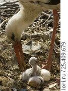 Купить «White Stork (Ciconia ciconia) tending chicks and egg in nest, South Spain.», фото № 25409679, снято 16 февраля 2019 г. (c) Nature Picture Library / Фотобанк Лори