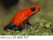 Купить «Strawberry poison arrow / dart frog (Dendrobates pumilio), Costa Rica», фото № 25409707, снято 20 мая 2019 г. (c) Nature Picture Library / Фотобанк Лори
