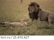 Купить «African lioness {Panthera leo}  interacting with male after mating, Masai Mara GR, Kenya», фото № 25410427, снято 23 января 2018 г. (c) Nature Picture Library / Фотобанк Лори