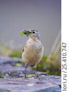 Купить «American / Buff bellied Pipit {Anthus rubescens}adult with insect prey, Glacier National Park, Montana, USA, July», фото № 25410747, снято 25 сентября 2018 г. (c) Nature Picture Library / Фотобанк Лори