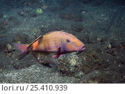 Купить «Multi-barred goatfish (Parupeneus multifasciatus), Bali, Indonesia», фото № 25410939, снято 16 июля 2018 г. (c) Nature Picture Library / Фотобанк Лори