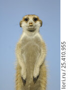 Купить «Meerkat (Suricata suricatta) standing on guard, South Africa», фото № 25410955, снято 3 апреля 2020 г. (c) Nature Picture Library / Фотобанк Лори