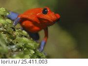Купить «Strawberry poison arrow / dart frog (Dendrobates pumilio), Costa Rica», фото № 25411003, снято 20 мая 2019 г. (c) Nature Picture Library / Фотобанк Лори