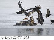 Steller's sea eagles {Haliaeetus pelagicus} squabbling over Sockeye salmon prey, Kuril Lake, Kamchatka, Far East Russia. Стоковое фото, фотограф Igor Shpilenok / Nature Picture Library / Фотобанк Лори