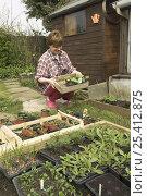 Купить «Gardener hardening off plants outside greenhouse in springtime, Norfolk, UK», фото № 25412875, снято 20 марта 2018 г. (c) Nature Picture Library / Фотобанк Лори