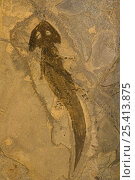 Купить «Fossilised Amphibian (Actinodon), Lower Permian, Pfauz, Germany», фото № 25413875, снято 25 марта 2018 г. (c) Nature Picture Library / Фотобанк Лори