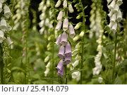 Купить «Foxglove flowers (Digitalis sp.) UK», фото № 25414079, снято 22 июля 2018 г. (c) Nature Picture Library / Фотобанк Лори