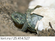 Купить «Red-eared Turtle (Psuedemys / Trachemys scripta elegans) hatching out of its egg, captive», фото № 25414527, снято 3 апреля 2020 г. (c) Nature Picture Library / Фотобанк Лори