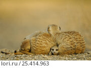 Meerkat (Suricata suricatta) juvenile peering out from under resting group of adults, South Africa. Стоковое фото, фотограф Solvin Zankl / Nature Picture Library / Фотобанк Лори