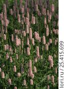 Купить «Bistort {Polygonum bistorta} flowers, Botanic gardens, Berlin, Germany», фото № 25415699, снято 19 августа 2018 г. (c) Nature Picture Library / Фотобанк Лори