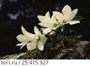 Купить «Epiphytic Orchid (Dendrobium prasinum) flowering in rainforest, Taveuni Island, Fiji.», фото № 25415927, снято 27 мая 2019 г. (c) Nature Picture Library / Фотобанк Лори