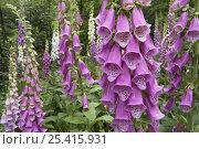 Купить «Common foxglove (Digitalis purpurea) flowers, Europe», фото № 25415931, снято 22 июля 2018 г. (c) Nature Picture Library / Фотобанк Лори