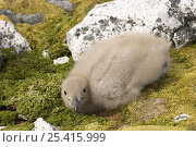 Antarctic skua (Catharacta Antarctica) chick on mosses. Western Antarctic Peninsula, Southern Ocean. Стоковое фото, фотограф Steven Kazlowski / Nature Picture Library / Фотобанк Лори