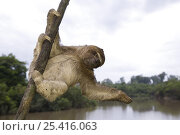 Купить «Brown-throated three-toed sloth (Bradypus variegatus) on branch above river in rainforest, Peru», фото № 25416063, снято 20 января 2020 г. (c) Nature Picture Library / Фотобанк Лори