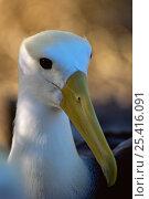 Купить «Waved Albatross (Diomedea / Phoebastria irrorata)Espanola / Hood Island, Galapagos, June», фото № 25416091, снято 26 июня 2019 г. (c) Nature Picture Library / Фотобанк Лори