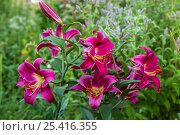 Купить «Лилия Карбонеро (Carbonero) ОТ-гибрид в саду», фото № 25416355, снято 2 августа 2014 г. (c) Ольга Сейфутдинова / Фотобанк Лори