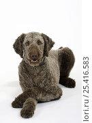 Купить «Brown sheared Standard Poodle lying down, paws crossed», фото № 25416583, снято 21 июля 2018 г. (c) Nature Picture Library / Фотобанк Лори